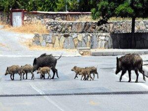 Bodrum'da Aç Kalan Domuz Sürüsü Şehre İndi
