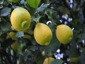 10 TL'ye Satılan Limonların Fiyatları Düşecek Mi?