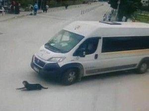Köpeği Ezen Cani Sürücü İşten Atıldı